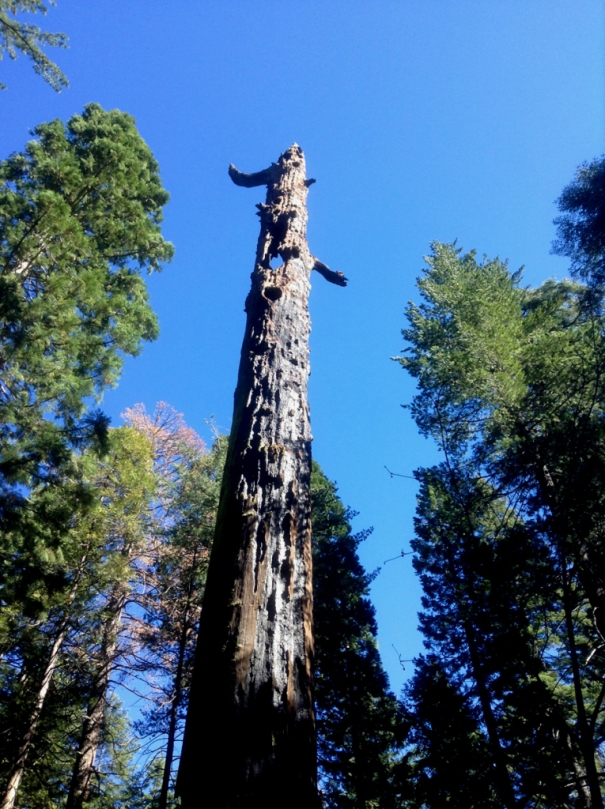Dead sequoia snag, burned, with the sky showing through the holes where its branches once were