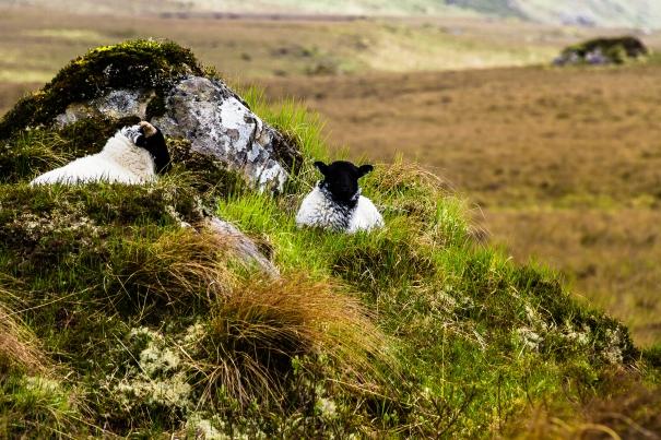 Sheep in the field.jpg